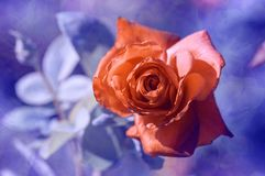 Rotrose auf einem Blau verwischte Hintergrund mit einer Beschaffenheit Abstrakte Lacke Stockfotos