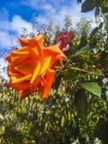 Rotrose auf einem Hintergrund des Himmels Lizenzfreie Stockbilder
