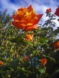 Rotrose auf einem Hintergrund des Himmels Stockfotos