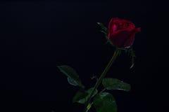 Rotrose auf einem schwarzen ackground, lieben Dunkelheit Stockbilder