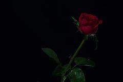 Rotrose auf einem schwarzen ackground, lieben Dunkelheit Lizenzfreies Stockbild