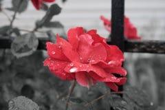 Rotrose auf einem schwarzen Hintergrundgitter Stockfotos