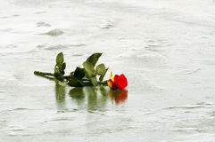 Rotrose auf Eis Stockfoto