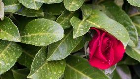 Rotrose auf grünem Bush Lizenzfreie Stockbilder