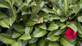 Rotrose auf grünem Bush Lizenzfreie Stockfotos