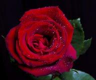 Rotrose auf schwarzem Hintergrund Stockfoto
