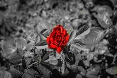 Rotrose auf Schwarzweiss-Hintergrund Stockfotografie