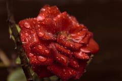 Rotrose bedeckt in den Wassertröpfchen lizenzfreie stockfotos