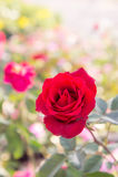 Rotrose blüht im Garten, bunte Rose Lizenzfreies Stockfoto