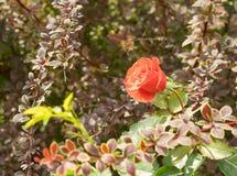 Rotrose in den Büschen der Berberitzenbeere Stockfoto