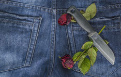 Rotrose in den Jeans Stockfoto