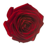 Rotrose für Liebe auf Weiß Stockbilder
