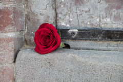 Rotrose gegen eine Backsteinmauer Stockfotografie