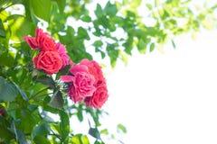 Rotrose gegen einen Hintergrund von Grünblättern und von weißen backgr stockfotografie