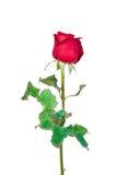 Rotrose getrennt auf weißem Hintergrund stockbild