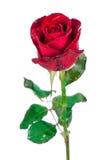 Rotrose getrennt auf weißem Hintergrund stockfoto