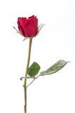 Rotrose getrennt auf weißem Hintergrund lizenzfreie stockfotografie