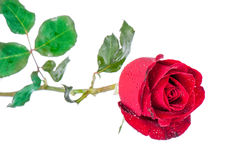 Rotrose getrennt auf weißem Hintergrund stockfotos