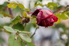 Rotrose hat im Garten geblüht stockfotografie