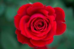Rotrose im Garten Lizenzfreie Stockbilder