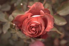 Rotrose im Herbstgarten Zwei rosafarbene Blumen, die im Fall, viel Raum für Text sterben Selektiver Fokus Von Hand gezeichnete Ti Stockfoto