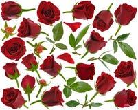 Rotrose knospt Blätter und Blumenblätter in den verschiedenen Winkeln auf weißem backg Stockfoto