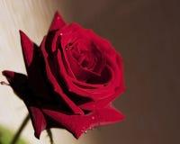 Rotrose mit Spritzen auf den Blumenblättern Stockfotos