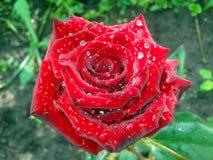 Rotrose mit Tau auf Blumenblättern Stockfotos