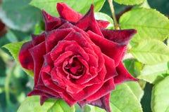 Rotrose mit Tropfen auf Blumenblättern Stockbilder