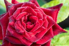 Rotrose mit Tropfen auf Blumenblättern Lizenzfreies Stockbild