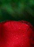 Rotrose mit vielen Wassertropfen Lizenzfreies Stockbild