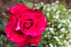 Rotrose nach Regen Stockfotos