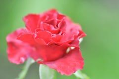 Rotrose oder Klasse Rosa Stockfoto