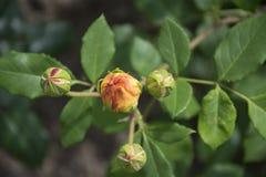 Rotrose rosengarden herein stockbild