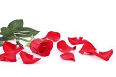 Rotrose und -blumenblätter auf Weiß Stockfotografie