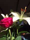Rotrose und -WEISS lilly Stockbild