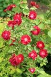 Rotrosen-Blumenbusch blüht mit gelber Mitte lizenzfreie stockbilder