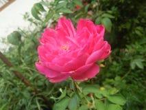 Rotrosen-Blumenfotos von Sri Lanka süßen x Fotos lizenzfreies stockfoto