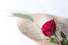 Rotrosen-Liebesgeschenk lokalisiert auf einem weißen Hintergrund Stockfotografie