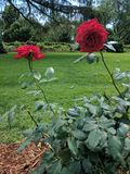 Rotrosenblüten Stockfotos