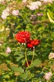 Rotrosenblume Lizenzfreie Stockfotografie
