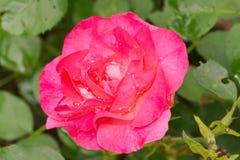 Rotrosenblume Stockfoto