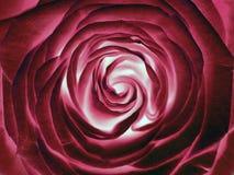 Rotrosenblume, Abschluss oben Stockbilder