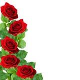 Rotrosenblumen Stockbilder
