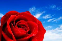 Rotrosennahaufnahme auf dem Himmelhintergrund Lizenzfreies Stockbild