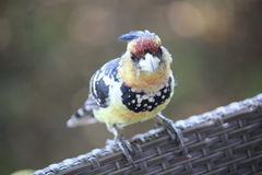 Rots - en - broodjesvogel Royalty-vrije Stock Foto