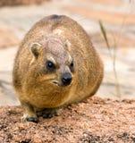 Rots hyrax stock afbeeldingen