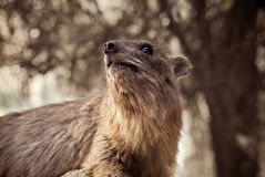 Rots hyrax Royalty-vrije Stock Foto's