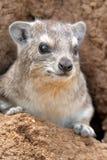 Rots hyrax Royalty-vrije Stock Afbeelding