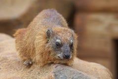 Rots hyrax Royalty-vrije Stock Afbeeldingen